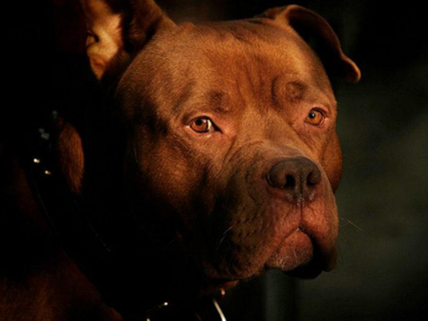 Cão Bandog Redcapo