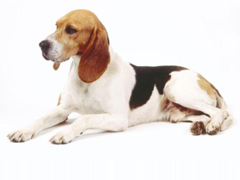 Cão de Artois