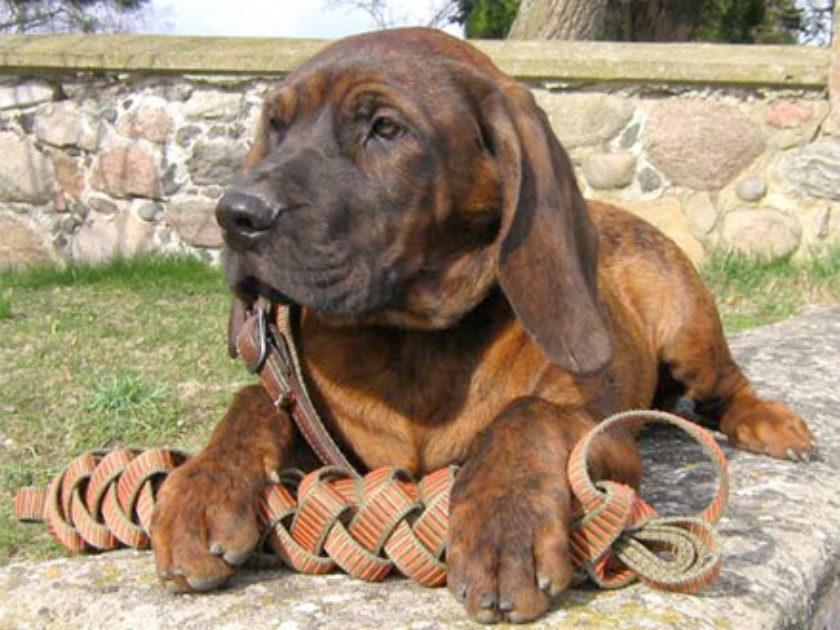 Cão de Pista de Sangue de Hanover