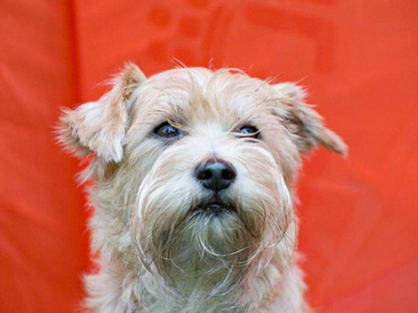 Cão de Guarda Holandês