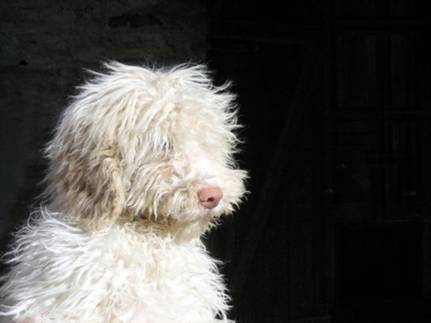 Cão d'Água da Romanha