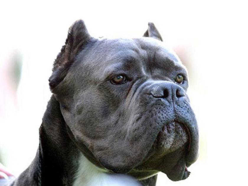 Cão Corso Italiano