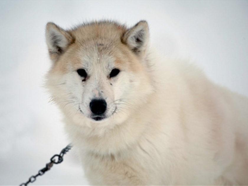 Cão da Groelândia