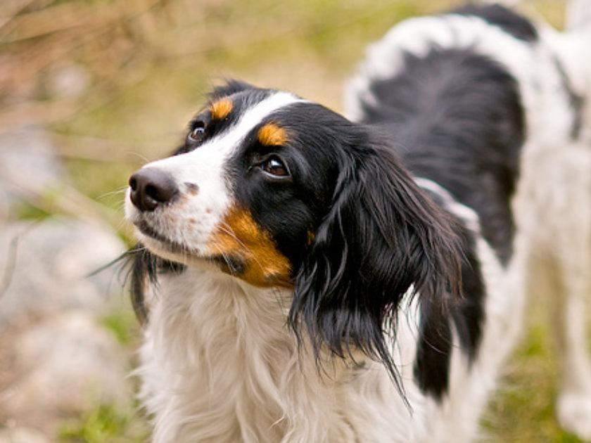Cão d'Água Holandês