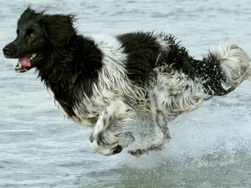 Cão de Aponte Frisão
