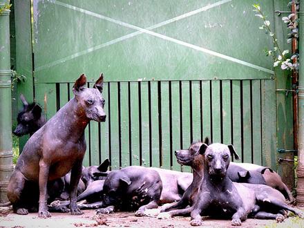 Raça Cão Pelado Mexicano - Crédito: http://www.flickr.com/photos/veronicavangogh/