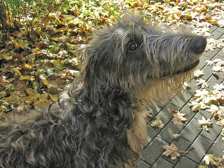 Raça Deerhound - Cão Veadeiro Escocês - Crédito: http://www.flickr.com/photos/pastorpixel/106451037/
