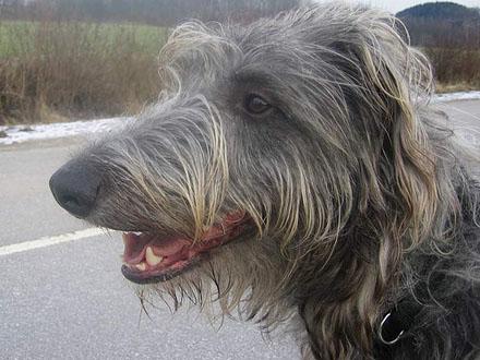 Raça Deerhound - Cão Veadeiro Escocês - Crédito: http://www.flickr.com/photos/sighthound/2657224903/