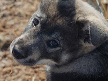 Raça Cão Sueco de Caça ao Cervo