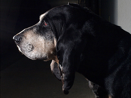 Raça Coonhound Preto e Castanho