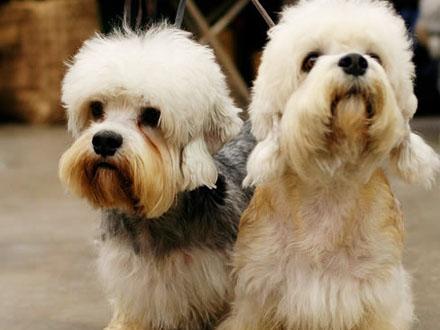 Raça Dandie Dinmont Terrier - Crédito: http://www.flickr.com/photos/59107385@N00/274573379/