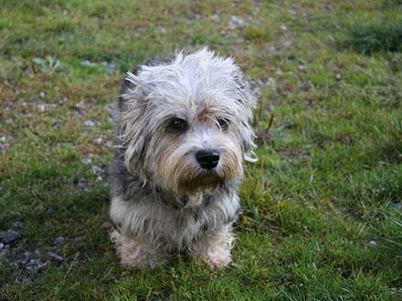 Raça Dandie Dinmont Terrier