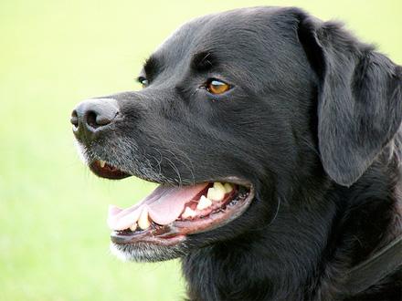 Raça Recolhedor do Labrador - Crédito: http://www.flickr.com/photos/mdu2boy/