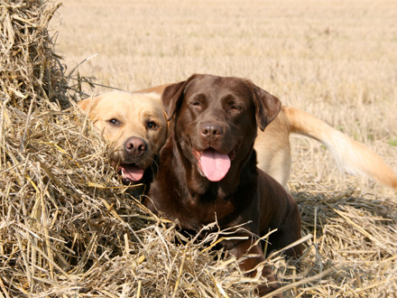 Raça Recolhedor do Labrador - Crédito: http://www.flickr.com/photos/isherlock/