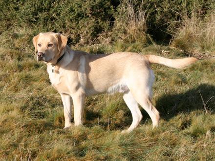Raça Recolhedor do Labrador