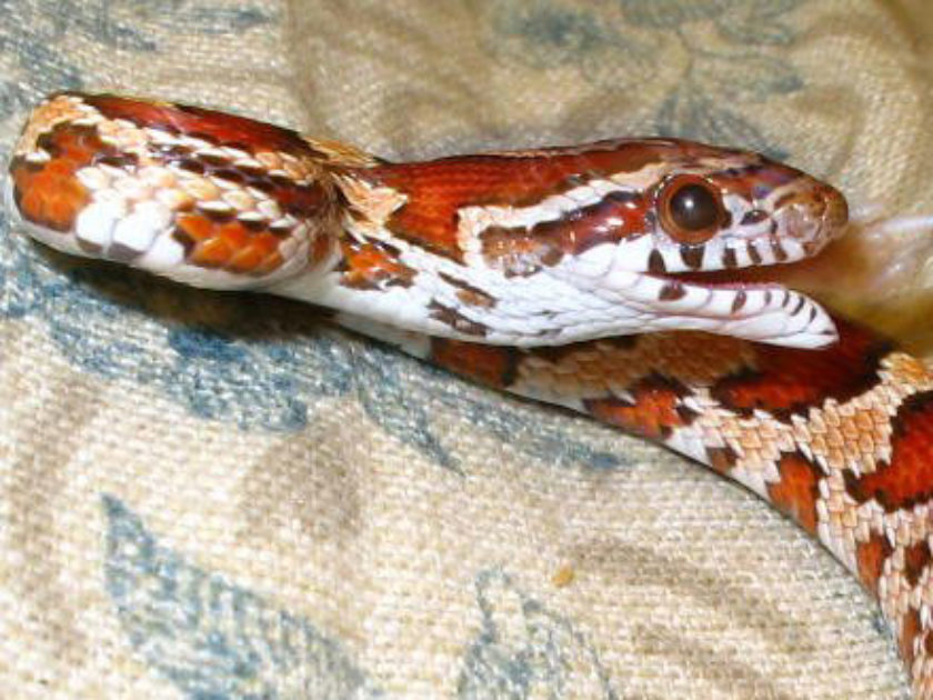 Cobra do Milho