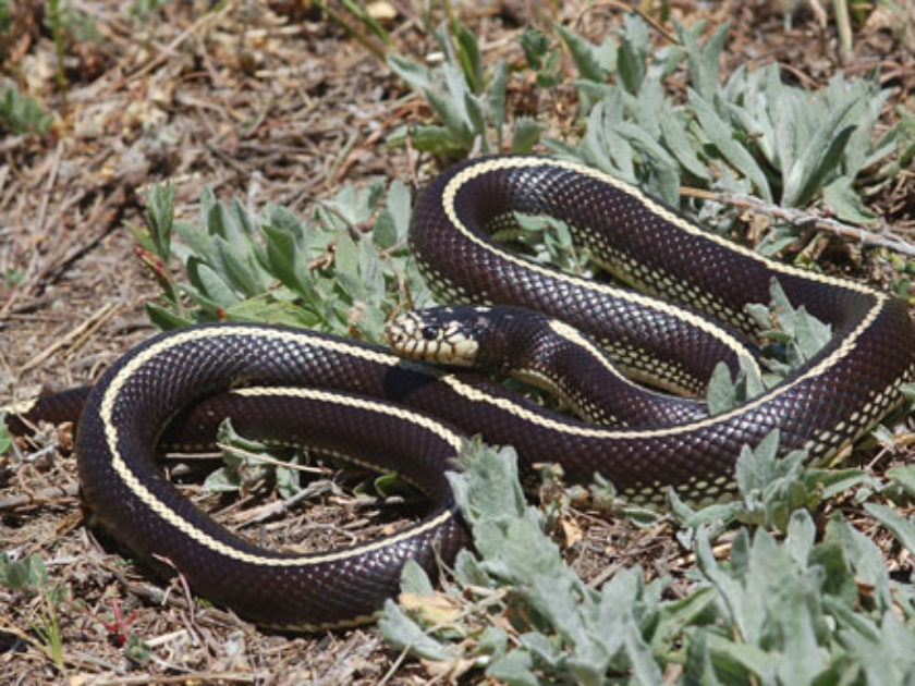 Cobra Real Mexicana Negra