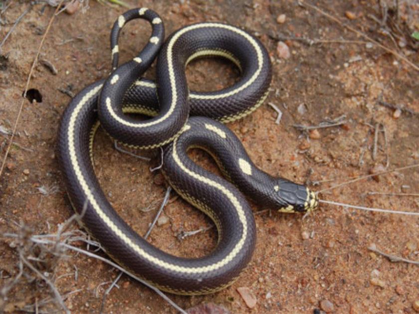 Cobra Real Californiana
